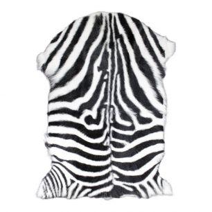 Fur goat zebra (capra aegagrus hircus)